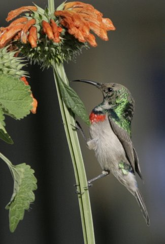 Southern Double-collared Sunbird, Birding Africa office garden, Pinelands
