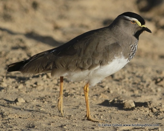 The scarce Spot-breasted Lapwing, Vanellus melanocephalus, on our Ethiopia birding tour © Callan Cohen www.birdingafrica.com