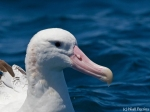 Wandering Albatross on a trip with Cape Town Pelagics (c) Niall Perrins