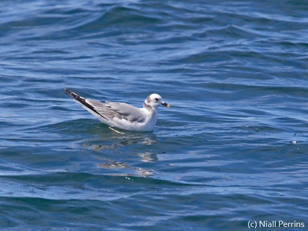 Sabine's Gull on a trip with Cape Town Pelagics, 29 October 2011 (c) Niall Perrins