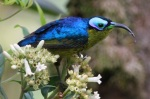 Common Sunbird-Asity posed at eye-level © Callan Cohen & Deirdre Vrancken www.birdingafrica.com