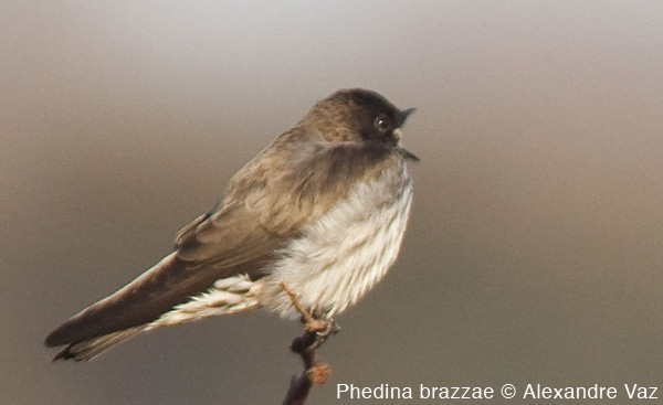 The little-known Brazza's Martin Phedina was discovered in the Angolan highlands by Michael Mills in 2005. We watched it sing from its perch and saw it superbly in flight © Alexandre Vaz