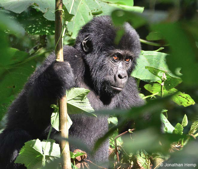Mountain Gorilla youngster by tour participant Jonathan Hemp