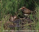 A pair of Painted Snipe was spotted by Jayne! © Callan Cohen www.birdingafrica.com